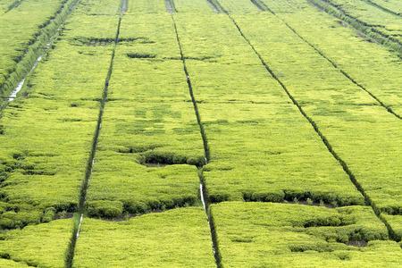 rwanda: Beautiful tea fields in Rwanda Stock Photo