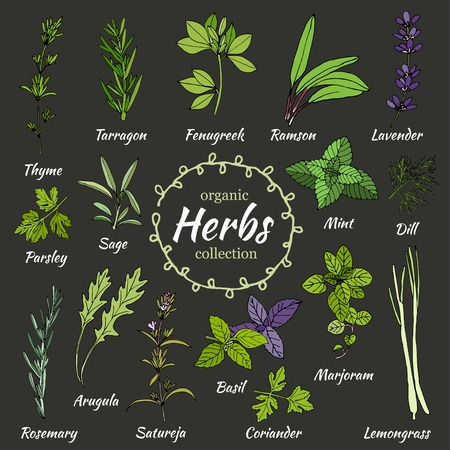 Set of hand draw herbs for food and cosmetic. Vector collection of herbs. Herbal illustration. Cooking herbs. Medical herbs. Organic food illustration. Set of herbal supplements Ilustracja