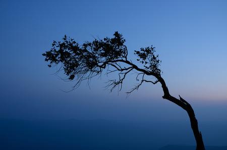 kradueng: Silhouette of pine at Pha Mak Duk cliff in Phu Kradueng National Park, Loei, Thailand