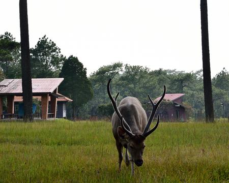 kradueng: Deer at tent area on Phu Kradueng National park of Loei Thailand