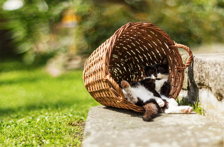 Tired kitten sleeping in funny position hidden in vintage vicker basket during sunny day