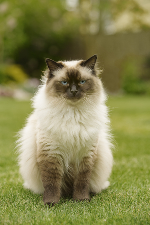 ragdoll: Cute Ragdoll kitty cat with blue eyes sitting straight on grass in a garden facing and looking to the camera
