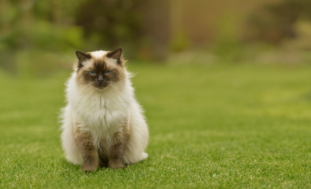 facing to camera: Cute Ragdoll kitty cat with blue eyes sitting straight on grass in a garden facing and looking to the camera with free copyspace for your text