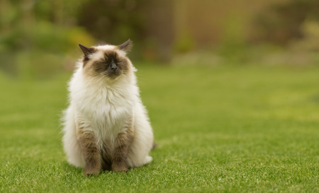 sniffing: Cute Ragdoll kitty cat with closed eyes sniffing through the air sitting straight on grass with free copyspace for your text