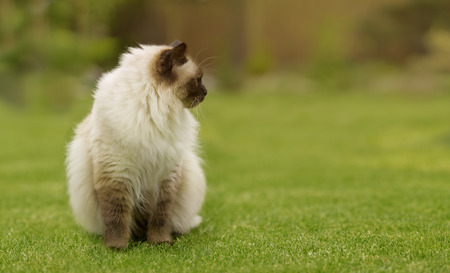 ragdoll: Cute Ragdoll kitty cat with blue eyes sitting straight on grass in a garden and looking to a side on free copyspace for your text