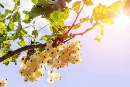 detail of bunch: Detail of a bunch of white currant on a branch with leaves and glowing sun on blue sky