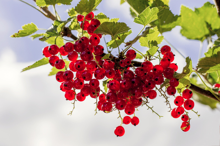 detail of bunch: Detail on a bunch of red currant on a branch with green leaves and blue sky Stock Photo