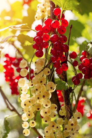 detail of bunch: Detail on a bunch of white currant on a branch with green leaves and blue sky Stock Photo