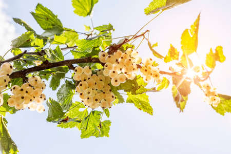 detail of bunch: Detail of a bunch of white currant on a branch with leaves and bright sunglow on a blue sky Stock Photo