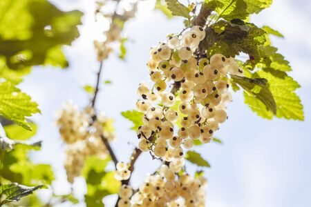 detail of bunch: Detail of a bunch of white currant on a branch with leaves and blue sky