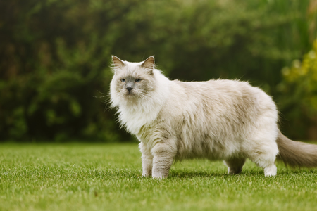 ragdoll: Side view of ragdoll tomcat with beautiful eyes standing on a grass in a green garden.
