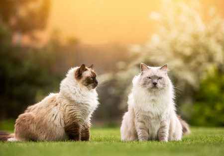 ragdoll: pair of cute light ragdoll cats sitting together and watching outside of the frame with free copy Stock Photo
