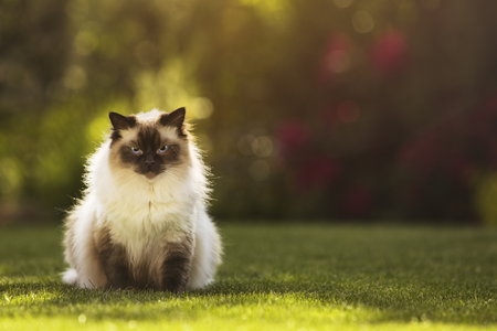 Cute ragdoll kitty cat with blue eyes sitting straight on grass in a garden, facing and looking to the camera
