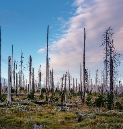 Field of burned dead conifer trees with hollow branches in beautiful old forest in Oregon, after devastating wildfire, with beautiful sunset sky with blue and yellow glow