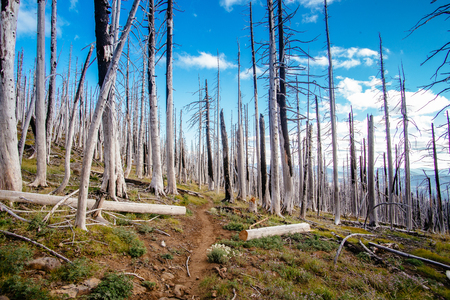 Field of burned dead conifer trees with hollow branches in beautiful old forest after devastating wildfire in Oregon, with beautiful blue sky