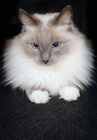 Super cute ragdoll cat posing as a little ball of fur with beautiful catchy eyes and curious look, looking directly in to the camera, with nearly dark black isolated background