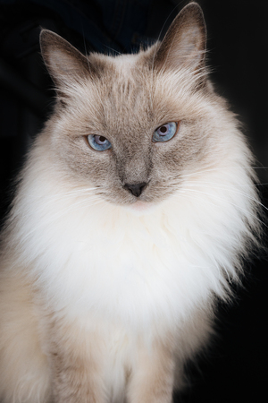 Beautiful Ragdoll Cat model with face looking directly in the camera with beautiful charming look, with hypnotizing blue eyes and long light fur, isolated on a black background