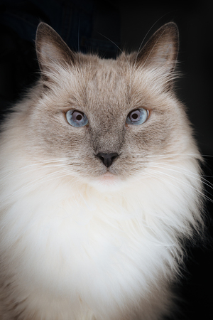 Beautiful Ragdoll Cat model with face looking directly in the camera with beautiful charming, curious and hypnotizing look, with blue eyes and long light fur, isolated on a black background