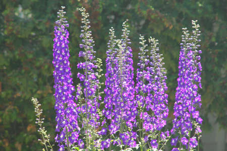 Lavender Flower in front of a house
