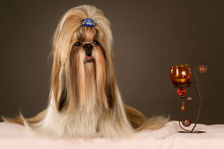 Purebred Shih-tzu with candlestick Stock Photo - 9378955