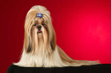 full face: Shih Tzu dog with blue hairpin. Shot full face in studio on wine red background