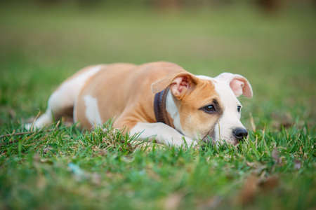 american staffordshire terrier: American Staffordshire terrier puppy on a grass