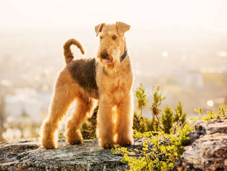 airedale: purebred airedale terrier outdoors Stock Photo