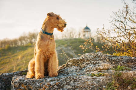 airedale terrier dog: purebred airedale terrier outdoors Stock Photo