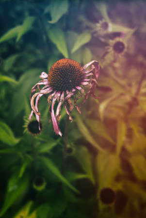 echinacea purpurea: Echinacea Purpurea Late Season. Dying and drying eastern purple coneflower, also known as Echinacea purpurea, in a forest in rural Indiana, United States. Edited with a vintage filter.