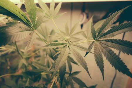 marihuana: Marihuana Leafs Grow Op. Plantas de marihuana que crecen bajo las luces artificiales en un op crecer.