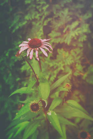 echinacea purpurea: Echinacea Purpurea. Eastern purple coneflower, also known as Echinacea purpurea, in a forest in rural Indiana, United States. Edited with a vintage filter.