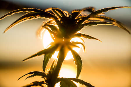 Marijuana Plant Sunrise. An outdoor marijuana plant against a sunrise. Only a couple months old, during the budding process. Stock Photo