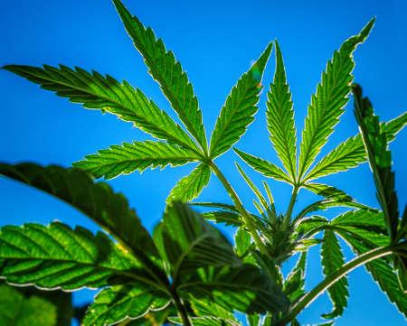 plant drug: Outdoor Marijuana Plant Sky. An outdoor marijuana plant. Just a couple months old, starting the budding process. Stock Photo