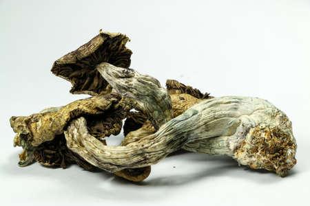 hongo: Magic Mushrooms 5. setas psilocibina, también conocidos como setas mágicas, una droga psicodélica que causa alucinaciones que se ha utilizado por los seres humanos durante miles de años.