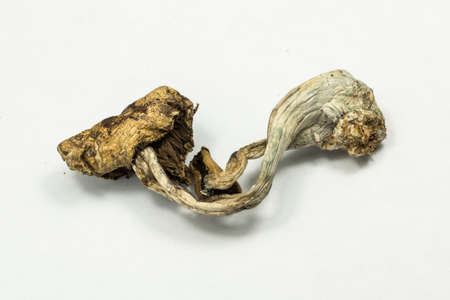 hallucinations: Psilocybin Mushroom 1. Psilocybin mushroom, also known as Magic Mushroom, a psychedelic drug that causes hallucinations which has been used by humans for thousands of years. Stock Photo