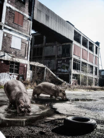 abandoned factory: Hippos in Urban Jungle. Hippos in an abandoned urban factory grounds.