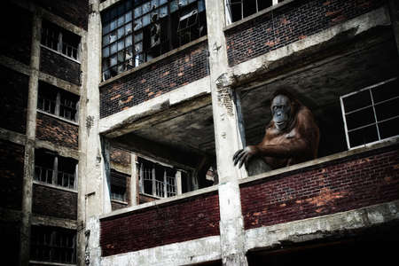 end times: Orangutan in Abandoned Building. An orangutan perched in urban ruins, in a post-apocalypse setting.