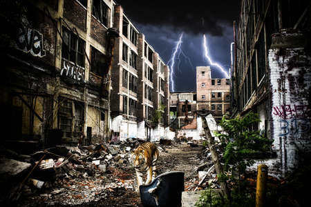 end times: Urban Tiger Apocalypse. A tiger walking through urban ruins in a post-apocalypse like setting. Stock Photo