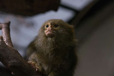 pygmy: Pygmy Marmoset New World Monkey. A pygmy marmoset, a small New World monkey native to rainforests of the western Amazon Basin in South America. It is the smallest monkey and one of the smallest primates in the world.