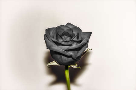 colorless: Vintage Black Rose. Black rose edited in a vintage style. Stock Photo