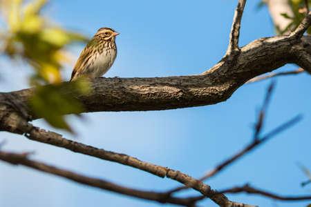 southwestern ontario: Bairds Sparrow. A Bairds Sparrow in a tree during late summer in southwestern Ontario, Canada.
