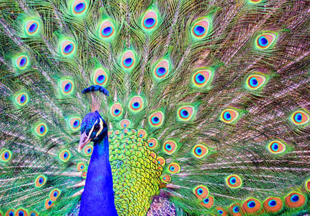 blue peafowl: The blue head and spread out colorful plumage tail of a male peacock