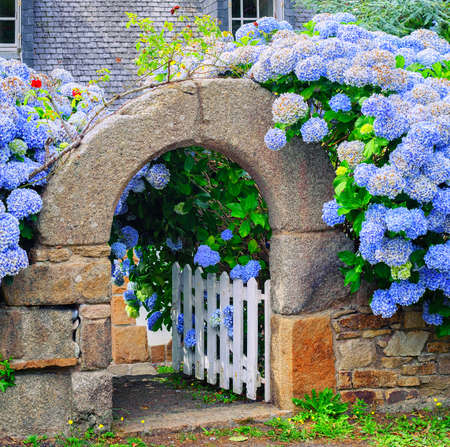 Blue hydrangea flowers decorating a stone house gate in Brittany, France