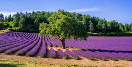Blooming lavender field with a tree in the middle, Provence, France
