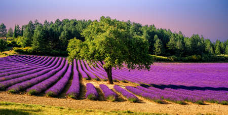 Blooming lavender field with a tree in the middle in sunset light, Provence, France