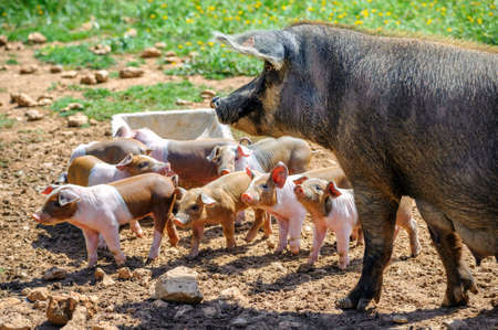 Spanish iberico sow pig with young piglets. Iberico pigs are used to produce jamon serrano ham.