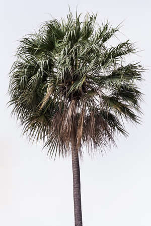 Sugar palm tree with white background isolation Stock Photo - 17095478