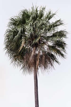 Sugar palm tree with white background isolation Stock Photo - 17095478