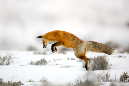 Red fox jumping on prey Stock Photo