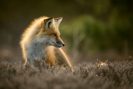 Red fox posing in the sun Stock Photo